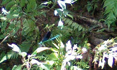 Tataki_dragonfly