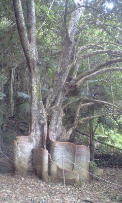 サキシマスオウの木。