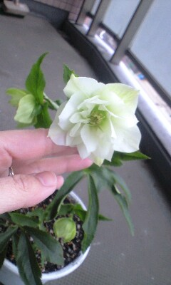 Christmasrose_white
