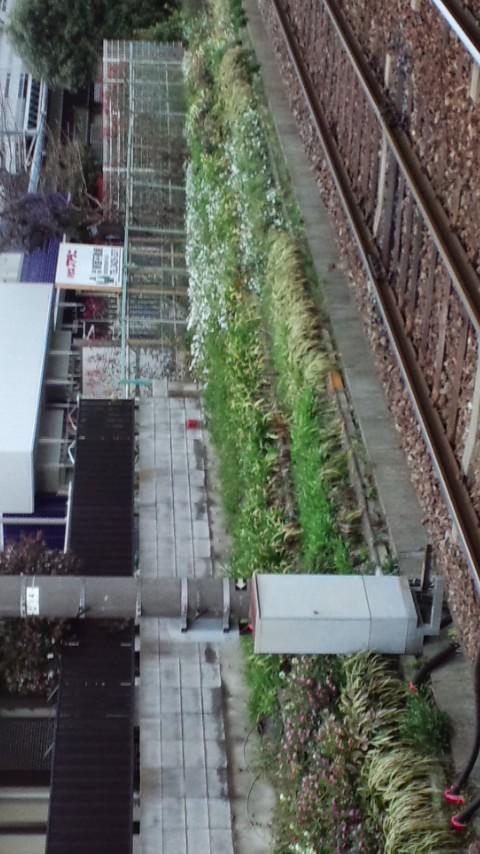 東急世田谷線・世田谷駅のクリスマスローズ。
