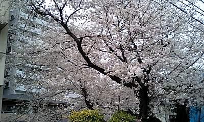 Cherry_taishido