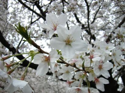 Cherry_taishido_image
