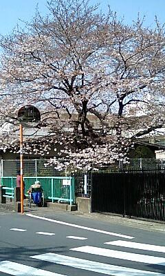 Shimotokudenbasi_cherry